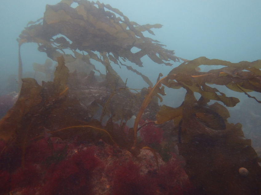 Native kelps are important habitats for marine wildlife